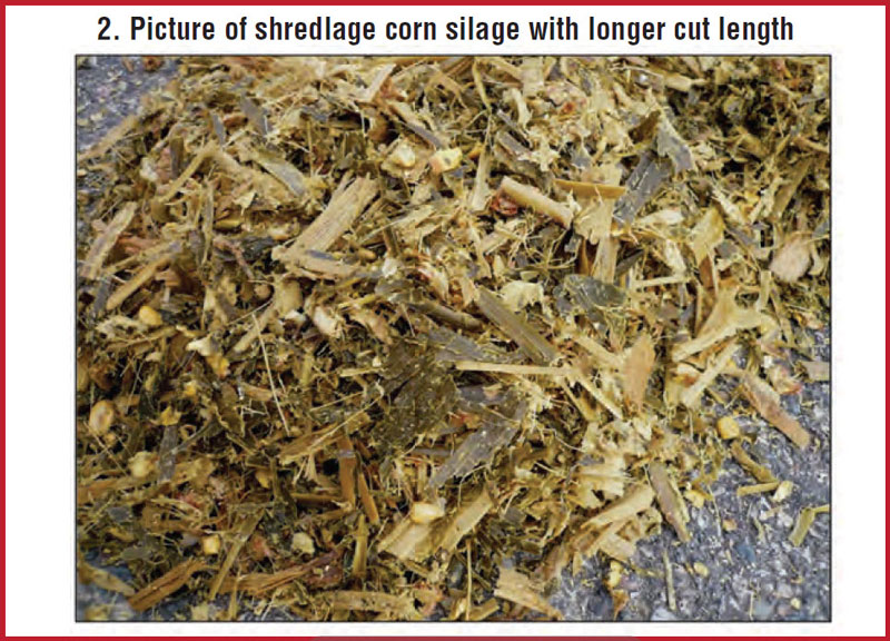 Shredlage corn silage with longer cut length.
