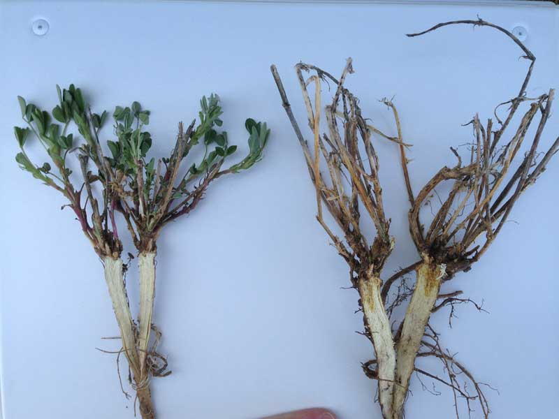 Two alfalfa plants have been split to show a healthy alfalfa crown (left) and alfalfa crown rot disease (right).