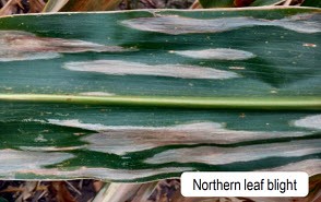 Northern leaf blight - corn plant leaf