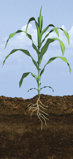 V6 Corn Growth Stage
