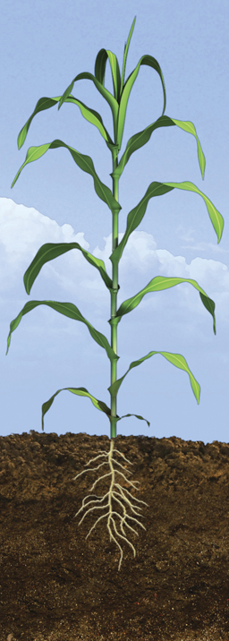 V9 Corn Growth Stage