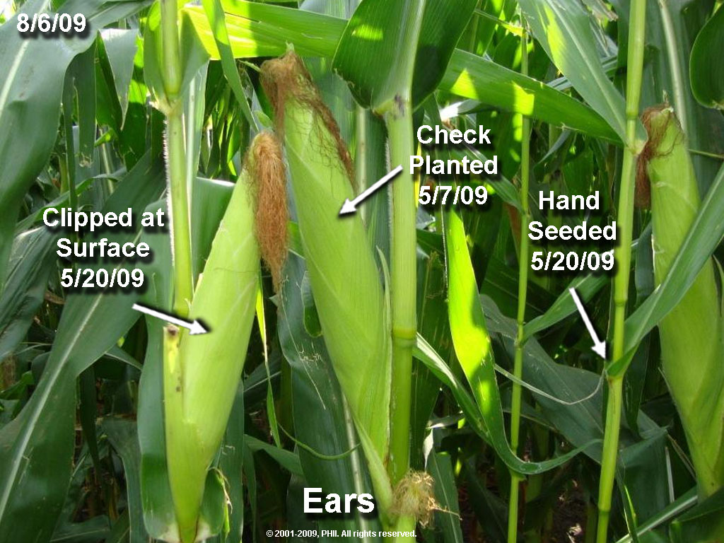 Ear Development from Uneven Emergence