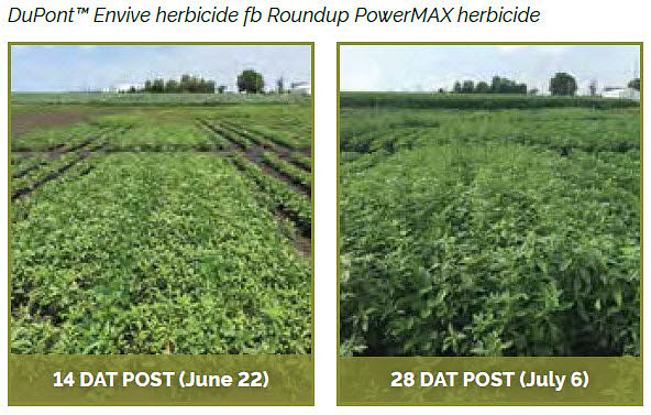 Soybean field treasted with DuPont Envive® herbicide fb Roundup PowerMAX herbicide