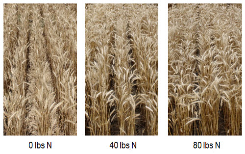 Wheat fields with Pioneer® variety 25R77 at 1, 40 and 80 lbs N/acre.