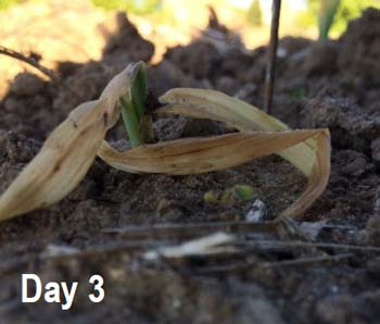 Corn seedling 3 days following spring frost event. Note regrowth pushing above soil line.