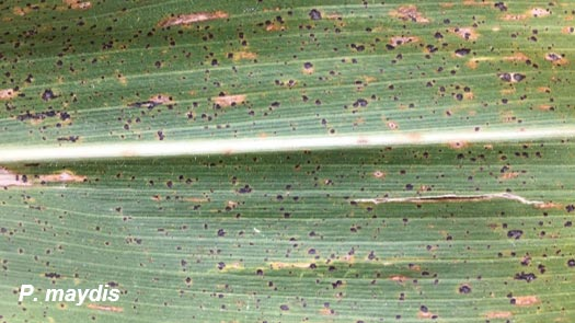 Photo of a corn leaf showing symptoms of tar spot.