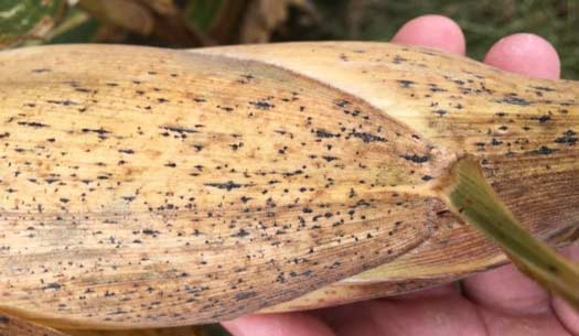 Photo of corn husk with tar spot symptoms.