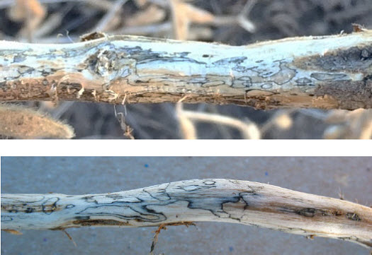 Dark zone lines on the lower soybean stem are an indicator of Diaporthe fungal infection.