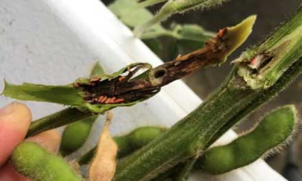 Gall midge larvae feeding in soybean stems. Larvae turn bright red or orange as they mature.