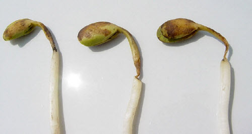 Soybean seedlings with damping-off symptoms