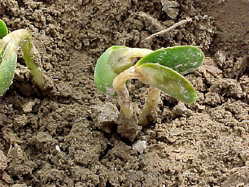 Just-emerged soybean plants damaged by frost.