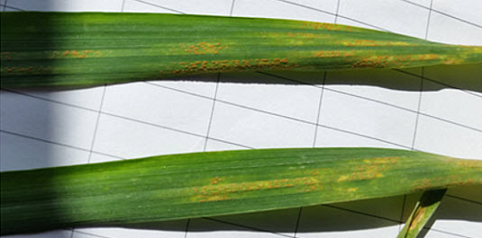Yellow coloured pustules form in stripes on wheat leaves, often looking like stitches from a sewing machine.