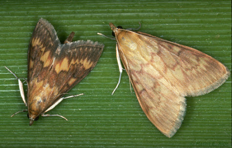Photo of European corn borer adult male and female.