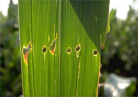 This is a photo of the leaf feeding pattern caused by European corn borer.