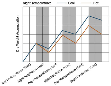 Dry weight accumulation related to night temperature.