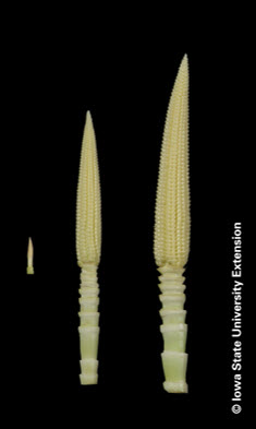 Photo of developing corn ears.