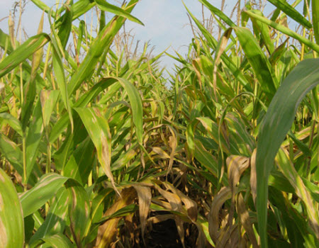 Corn field severely deficient in nitrogen due to excessive rainfall and sustained wet field conditions.