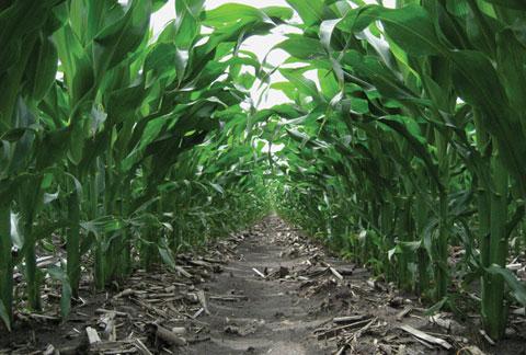 DuPont Pioneer corn plant population trial.