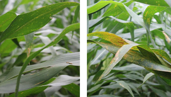 Photo showing Southern rust in a plot treated with DuPont Aproach Prima fungicide (left) vs. a non-treated plot (right) near Camilla, GA in 2014.