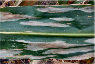 Northern Leaf Blight symptoms on leaf of susceptible corn hybrid.