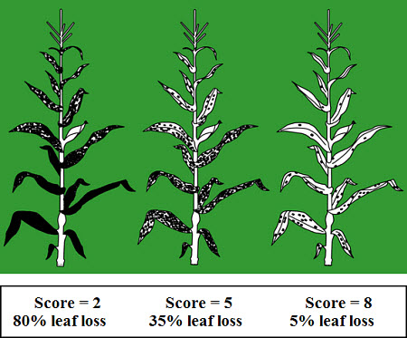 Illustration of Pioneer scoring system for northern leaf blight.