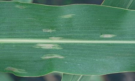 Susceptible response, early lesions. Plant has no resistance, but lesions have not had time to more fully develop.