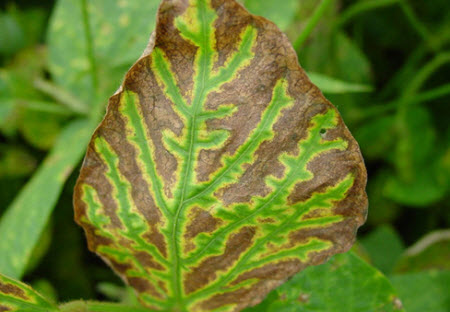 Soybean leaf showing classic symptoms of sudden death syndrome infection.
