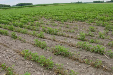 Photo: Uneven response of soybeans to soil residues of atrazine applied to corn the previous year.