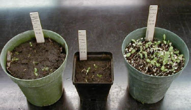 Photo: Bioassay showing response of alfalfa to fomesafen applied to soybeans the previous season