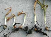 Corn seedlings with a range in damage from frost injury when plants were at V1-V2 stages.