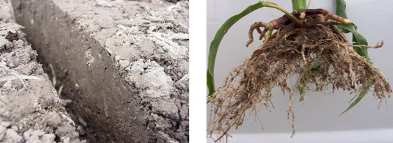 Photos showing sidewall compaction in a seed furrow and stunted corn roots due to sidewall compaction.