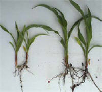 Corn plants stunted from excess residue compared to normal plants.