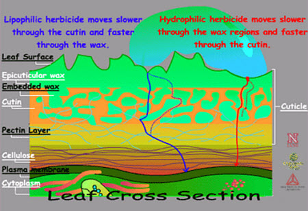 Cross section of leaf depicting routes of herbicide movement.