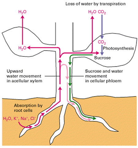 Movement of photoassimilate (sucrose) and water in plant vascular tissue.