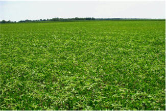 Soybean field infested with common waterhemp
