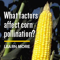 Learn more - What factors affect corn pollination?