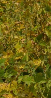 R7 Soybean Stage: Beginning Maturity