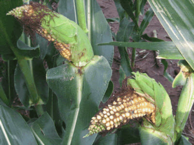 Curved corn ears due to brown stink bug adults.
