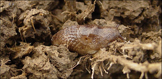 Photo showing adult slug feeding on a corn root.