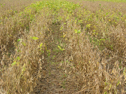 Soybeans with no fungicide treatment in foreground vs. fungicide-treated in background.