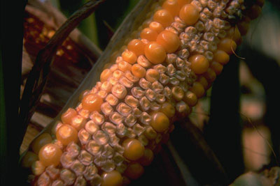 Drought stress can prevent pollination, as well as cause successfully pollinated kernels to abort.