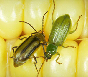 Western and northern corn rootworm beetles.
