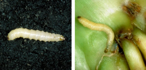 Corn rootworm larvae.