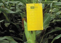 Utilize sticky traps to scout your fields for weekly presence of adult CRW beetles from silking through grain fill.