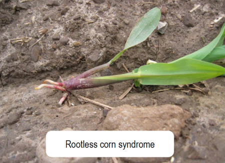 rootless corn syndrome