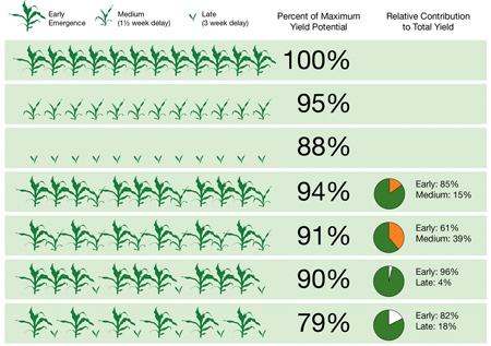 Impact of uneven corn plant emergence on yield.