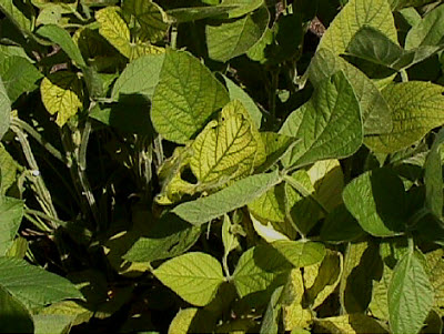 Manganese Fertility in Soybean Production
