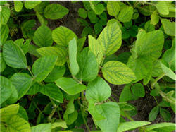 Photo: Manganese deficient soybean plants.