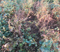 Soybeans treated with FST/IST fungicide at a research location with SDS near Lawrence, KS in August 2014.