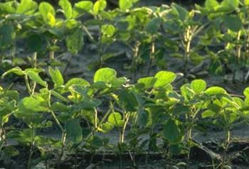 Photo: Planting very late shortens the soybean's vegetative growth period, resulting in smaller plants and later canopy closure.